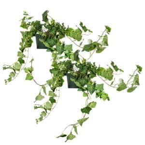 English Ivy (Hedera Helix) in 6 in. Grower's Pot (2-Plants)