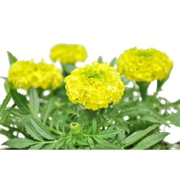 Reviews For Costa Farms 1 Pt Yellow Marigold Flowers In Grower S Pot 6 Pack 1ptyelmari6pk The Home Depot