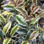 2 Gal. Romeo Variegated Cleyera Shrub with Buttery Yellow and Dark Green Leaves