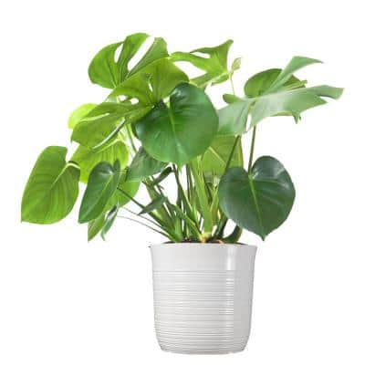 Swiss Cheese Plant Monstera Deliciosa Plant 24. in to 34 in. Tall in 10 in. White Decor Pot