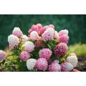 1 Gal. Zinfin Doll Hardy Hydrangea (Paniculata) Live Shrub, Pink and White Flowers