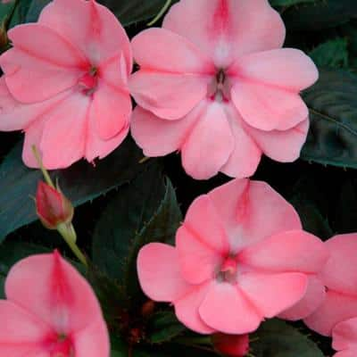 4.25 In. Grande SunPatiens Pink Impatien Outdoor Annual Plant with Blush Pink Flowers (4-Plants)