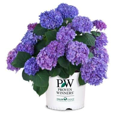 2 Gal. Let's Dance Rhythmic Blue Hydrangea Shrub with Blue and Pink Flowers