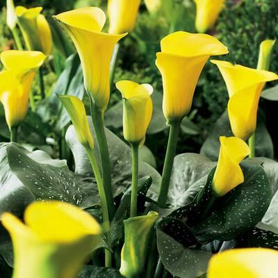 Callas Sunshine Bulbs (Set of 5)