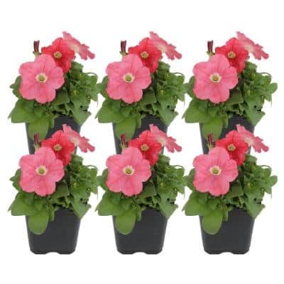 1 pt. Coral Petunia Flowers in Grower's Pot (6-Pack)