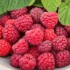 3 in. Pot Meeker Raspberry (Rubus) Live Fruiting Plants (1-Pack)