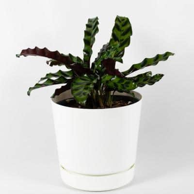 Rattlesnake Plant Calathea Live Plant Inside 6 in. Decorator White Contemporary Planter w/Built in Saucer