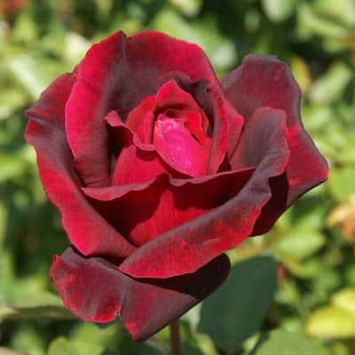 Fragrant Red Oklahoma Hybrid Tea Rose Plant