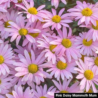 3 in. Pot Pink Daisy Mammonth Mum (Chrysanthemum), Live Flowering Perennial Plant (1-Pack)