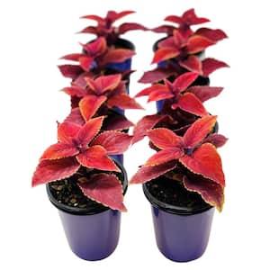 1.38 Pt. Coleus Plant Oxblood Red in 4.5 In. Grower's Pot (8-Plants)