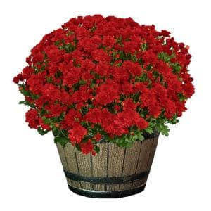 3 Qt. Chrysanthemum (Mum) Plant with Red Flowers in Whiskey Barrel