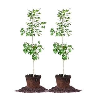 #5 Nuttal Oak Tree (2-Pack)