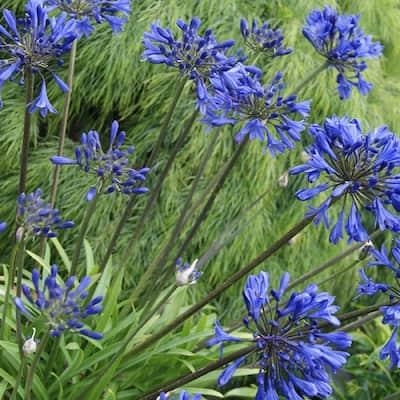 2.5 Qt. Little Blue Fountain Agapanthus With Deep Blue Flowers, Live Perennial Plant