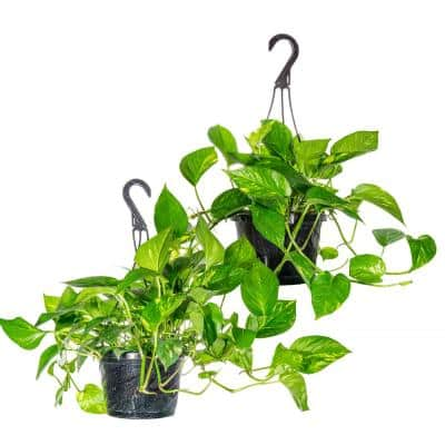 Golden Pothos Devil's Ivy in 8 in. Hanging Basket (2-Pack)