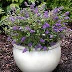 2.5 qt. Buddleia Lochinch Flowering Shrub with Lavender-Blue Flowers
