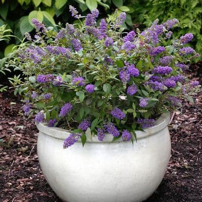 2.5 qt. Buddleia Lochinch Flowering Shrub with Lavender-Blue Flowers