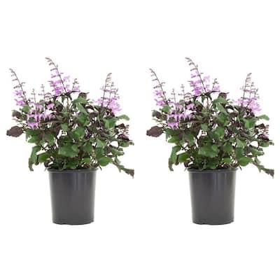2.5 Qt. Plectranthus Mona Lavender Plant in 6.33 in. Grower's Pot (2-Plants)