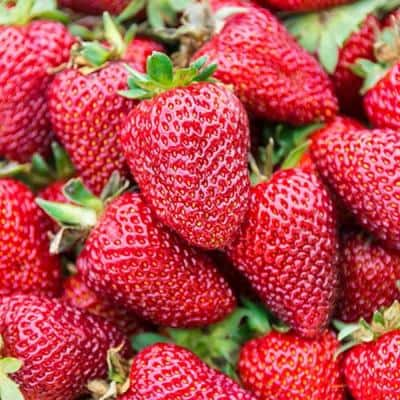 Albion Everbearing Strawberry (Fragaria), Live Bareroot Plants (10-Pack)