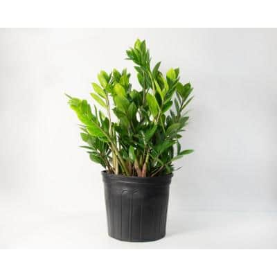 ZZ Plant (Zamioculcas) in 10 in. Grower Container (1-Plant)