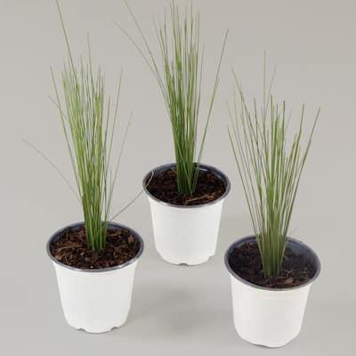 0.5 Qt. Muhly Pink Grass (3-Piece)
