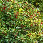 4 in. Pot Southern Gentleman Winterberry (Ilex) Live Evergreen Plant White Flowers Give Way to Red Berries