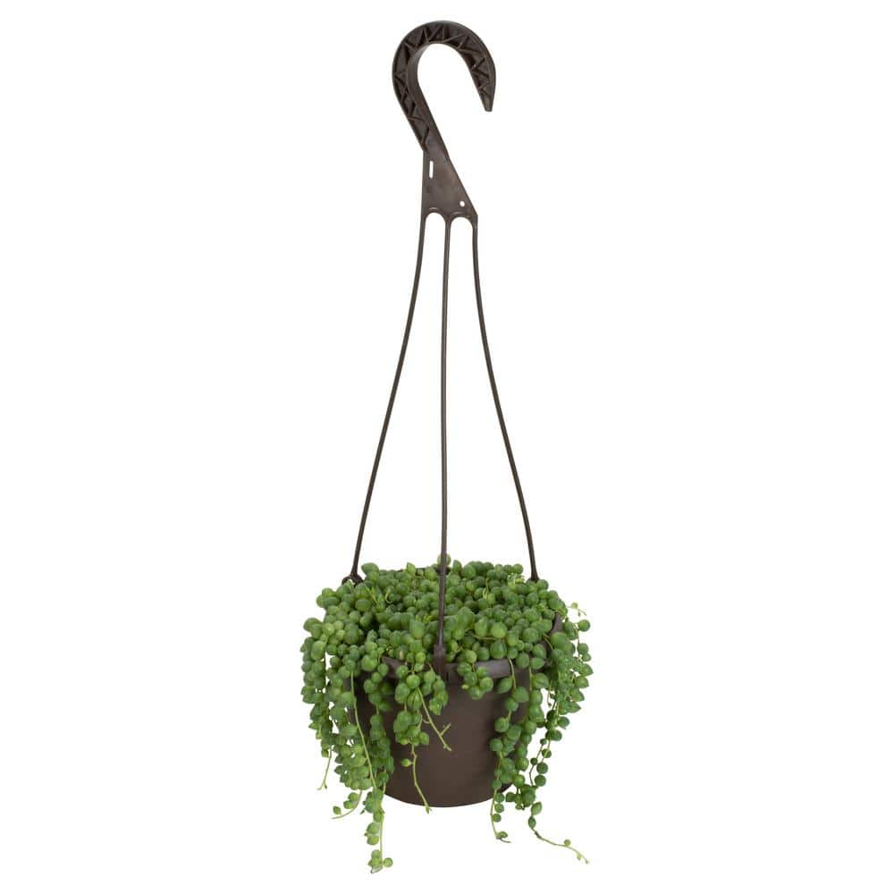 Large Succulent Plant African Pearls 6 inch pot string hanging plant
