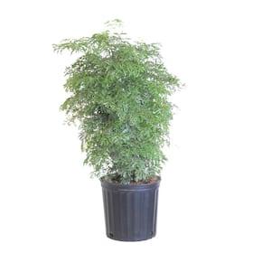 Aralia Ming Stump Plant in 9.25 in. Grower Pot 28 in. - 32 in. Tall