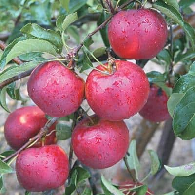 Pixie Crunch Reachables Apple Malus Live Fruiting Bareroot Tree (1-Pack)