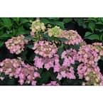 4.5 in. Qt. Let's Dance 'Cancan' Reblooming Hydrangea (Hydrangea Serrata) Live Plant, Purple Flowers
