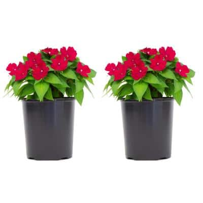 1 Gal. SunPatiens Pink Impatien Outdoor Annual Plant with Rose Flowers (2-Plants)