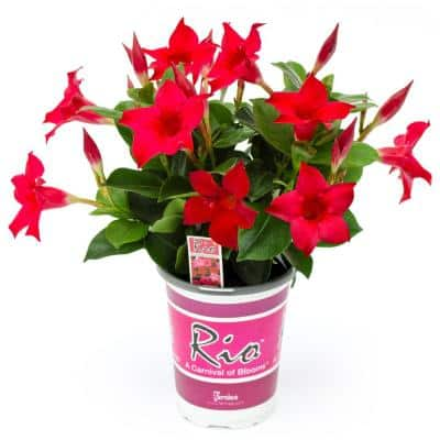 #6 Dipladenia Flowering Annual Shrub with Red Blooms