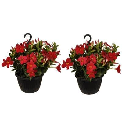 18 in. to 22 in. Tall Mandevilla Red Blooming Flower Live Outdoor Plant Premium 10 in. Hanging Basket (2-Pack)