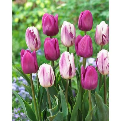 Bulbes de printemps ~LIVRAISON GRATUITE- Amsterdam Flower Bulbs Online /® Orange Tulipe Temple of Beauty 100 PCS