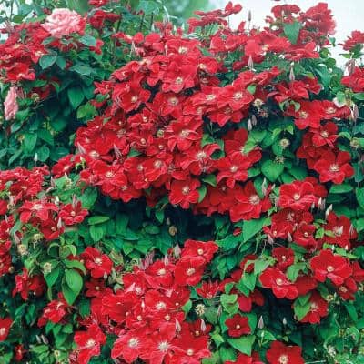 4 in. Pot Rouge Cardinal Clematis Vine, Live Perennial Plant, Red Flowers (1-Pack)
