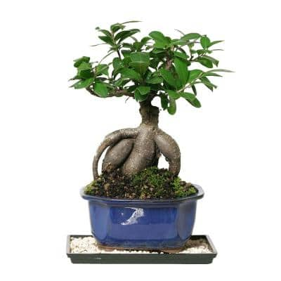 Gensing Grafted Ficus (Indoor)