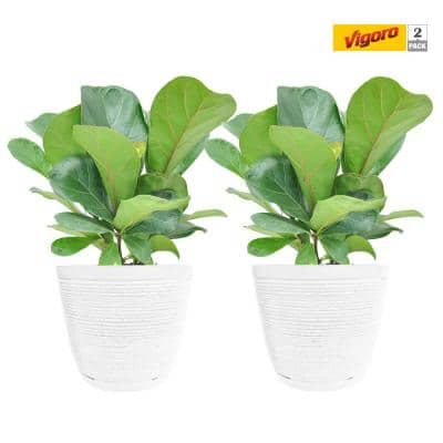 6 in. Little Fiddle Leaf Ficus Lyrata Plant in White Decor Pot (2-Pack)