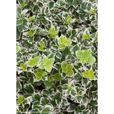 White Album Wintercreeper (Euonymus) Live Shrub, Green and White Foliage, 1 Gal.