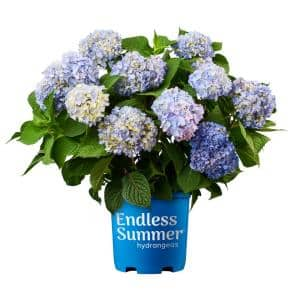 5 Gal. Original Hydrangea Shrub with Pink and Blue Flowers and Green Foliage