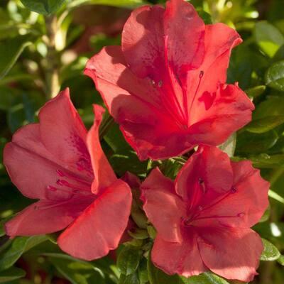 3 Gal. Autumn Sunset Shrub with Orange-Red Reblooming Flowers