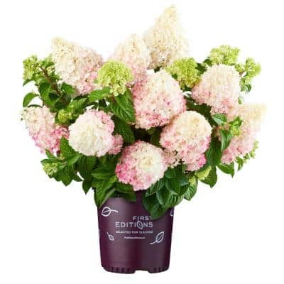 3 Gal. Vanilla Strawberry Hydrangea Plant with Creamy White to Pink Blooms