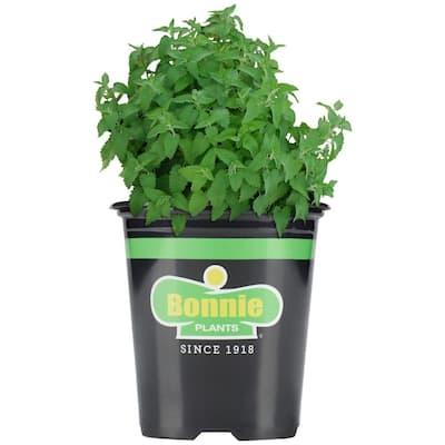 19.3 oz. Catnip Plant