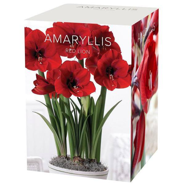 Dutch Amaryllis Bulb Gift Box Blue Delft Ceramic Pot Red Lion