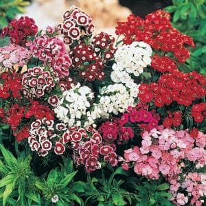 Spring Hill Nurseries Firecracker Sedum Live Bareroot Perennial Plant Groundcover With Pink Flowers With Red Foliage 1 Pack 64331 The Home Depot