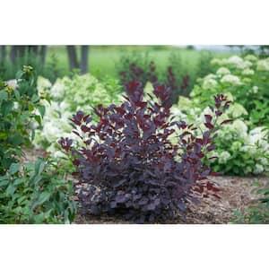 1 Gal. Winecraft Black Smokebush (Cotinus) Live Shrub, Rich Purple to Orange Foliage