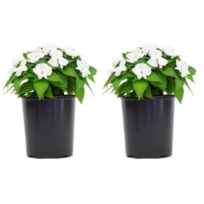 1 Gal. SunPatiens White Impatien Outdoor Annual Plant with White Flowers (2-Plants)