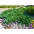 1 Gal. Broadmoor Juniper Shrub Excellent Evergreen Ground Cover with Graceful Spreading Foliage Drought Tolerant