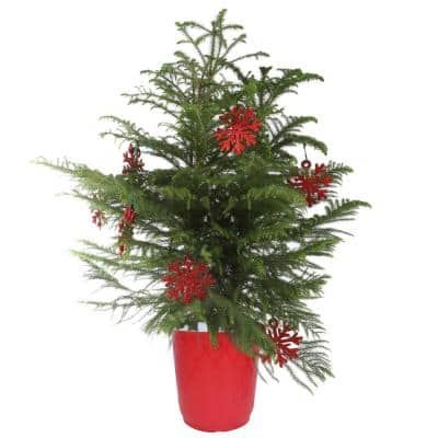 Fresh Norfolk Island Pine, 32 in. to 36 in. Tall in 10 in. Red Decor Pot