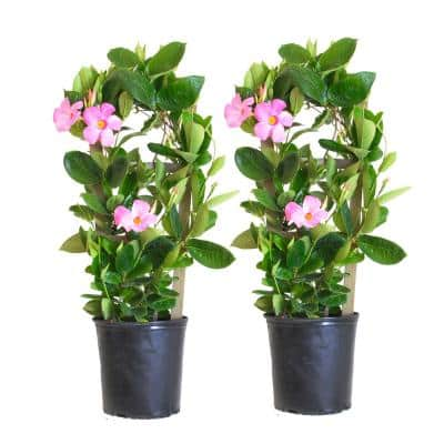 30 in. to 34 in. Tall Mandevilla Trellis Pink Live Outdoor Vining Plant in 9.25 in. Grower (2-Pack)