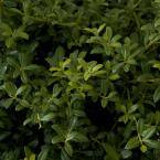 9.25 in. Pot - Soft Touch Holly(Ilex), Live Evergreen Shrub, Finely Textured Green Foliage