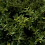 2.5 Qt. Soft Touch Holly(Ilex), Live Evergreen Shrub, Finely Textured Green Foliage